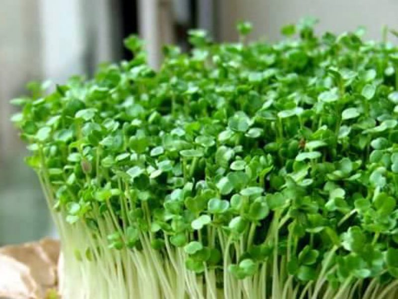 Micro - Greens & Sprouting - ميجروجرين والإستنبات